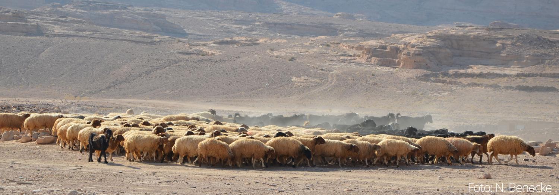 Schaf- und Ziegenherde in Humayma/Jordanien| Foto: N. Benecke