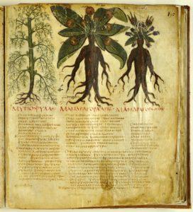Mandragora, aus: Dioscurides, De Materia Medica (Naples, Biblioteca Nazionale, Cod. Gr. 1, f. 90, late 6th c.)