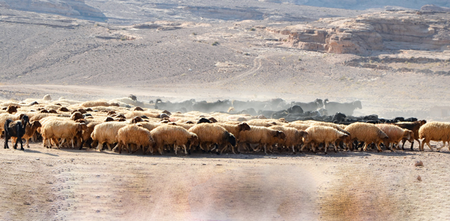 Schafherde in Jordanien   Photo: N. Benecke